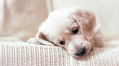 Golden Retriever Puppy Desktop Wallpaper 61656