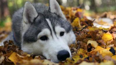 Husky Dog Desktop HD Wallpaper 60688