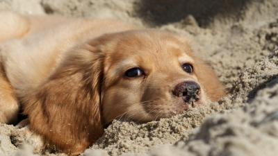 Golden Retriever Puppy Wallpaper Background 60774