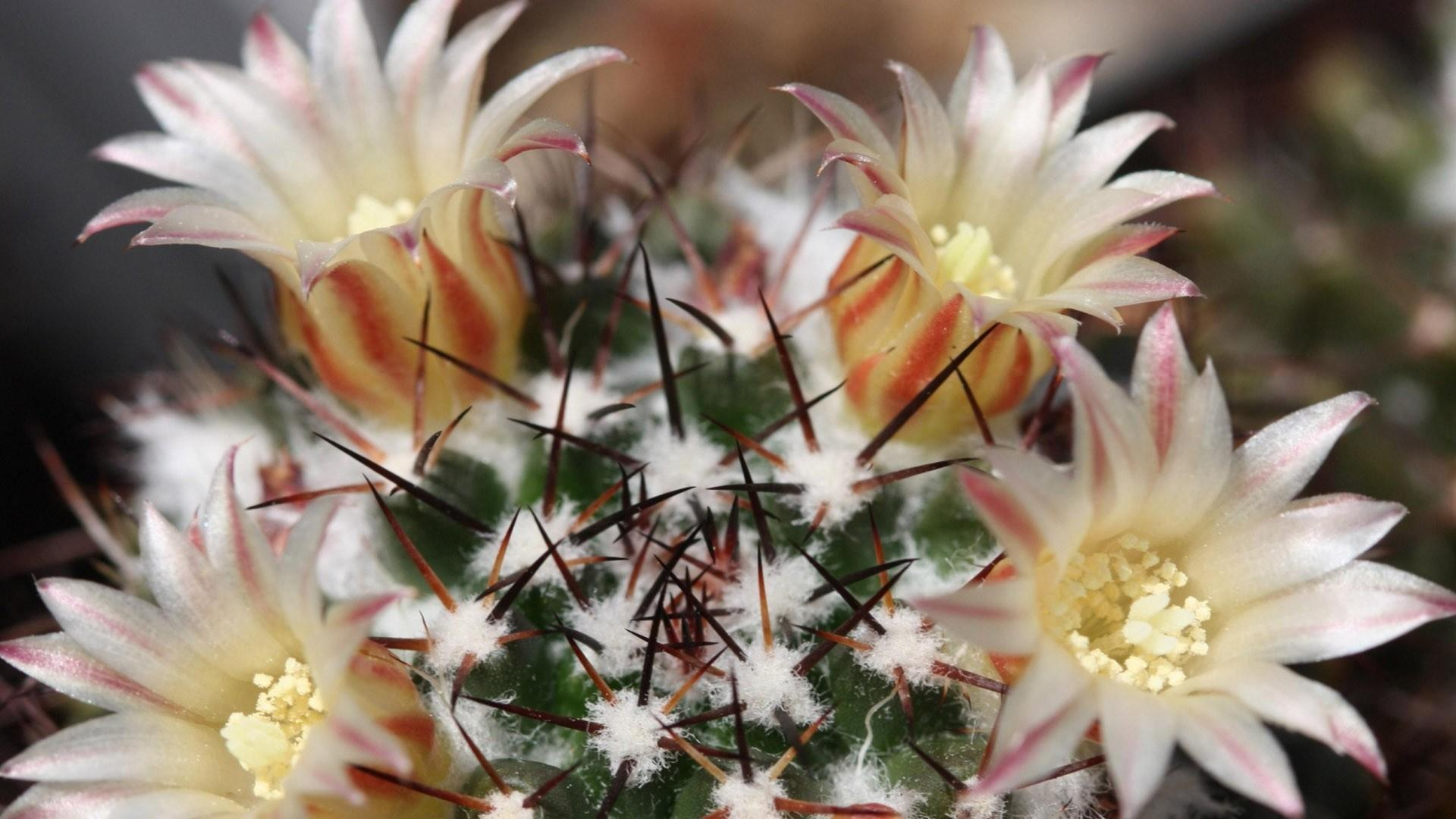 white cactus flowers wallpaper 61410