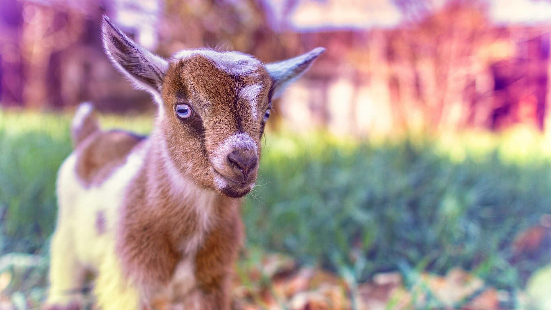 goat desktop hd wallpaper 62335