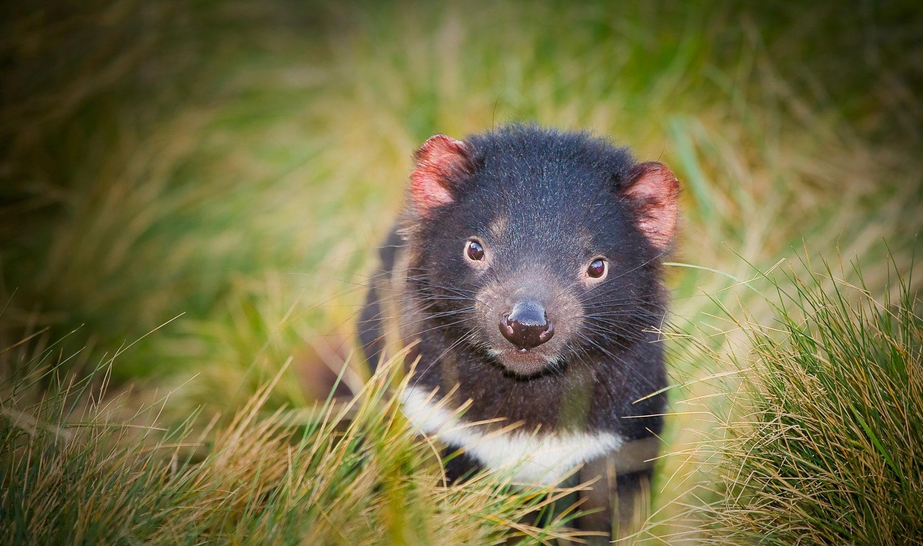 tasmanian devil animal wallpaper 59753