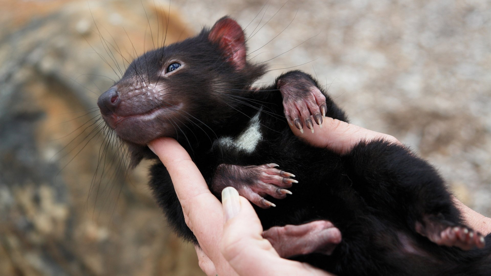 tasmanian devil desktop hd wallpaper 59754