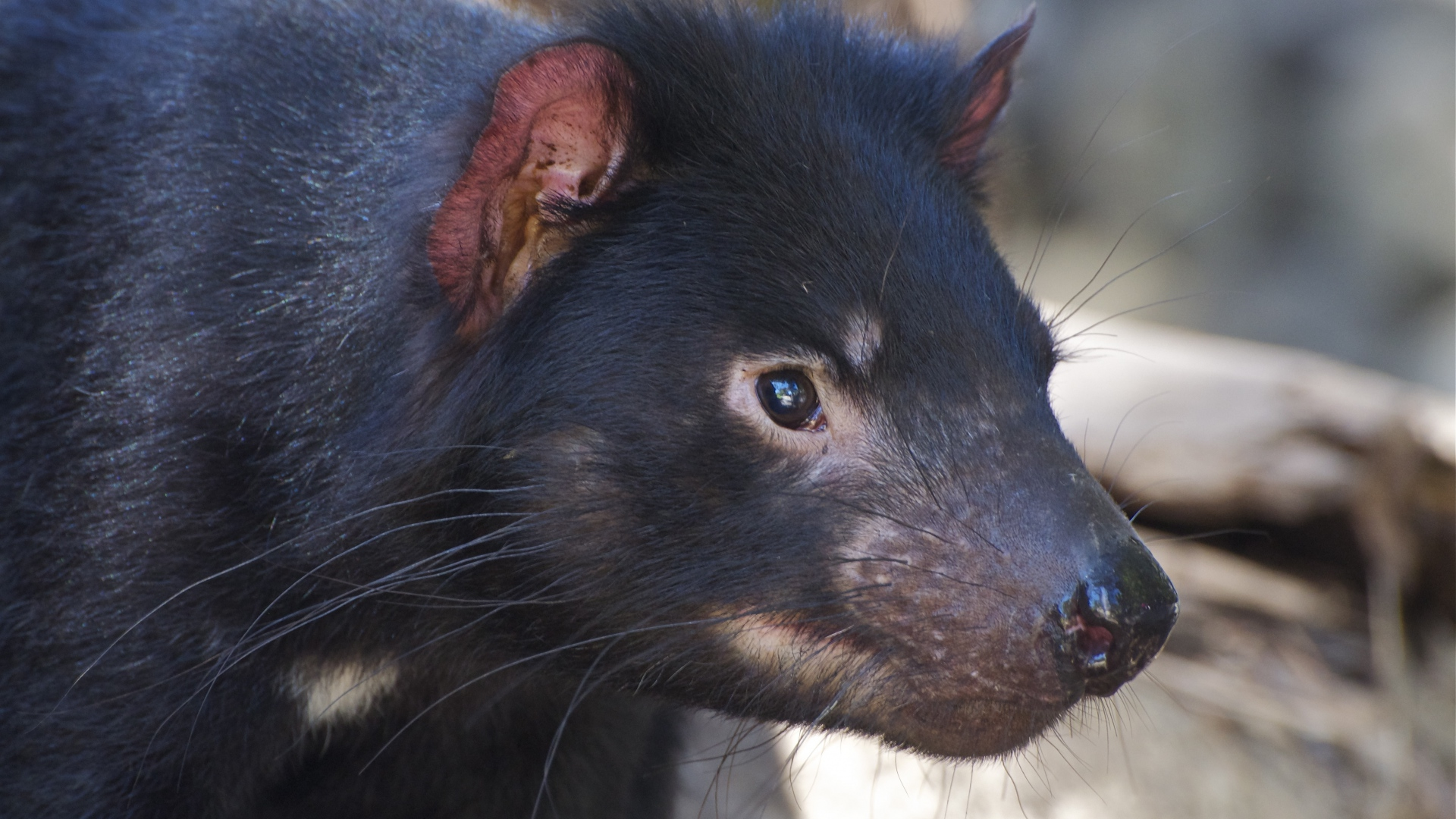 tasmanian devil face desktop wallpaper 59752