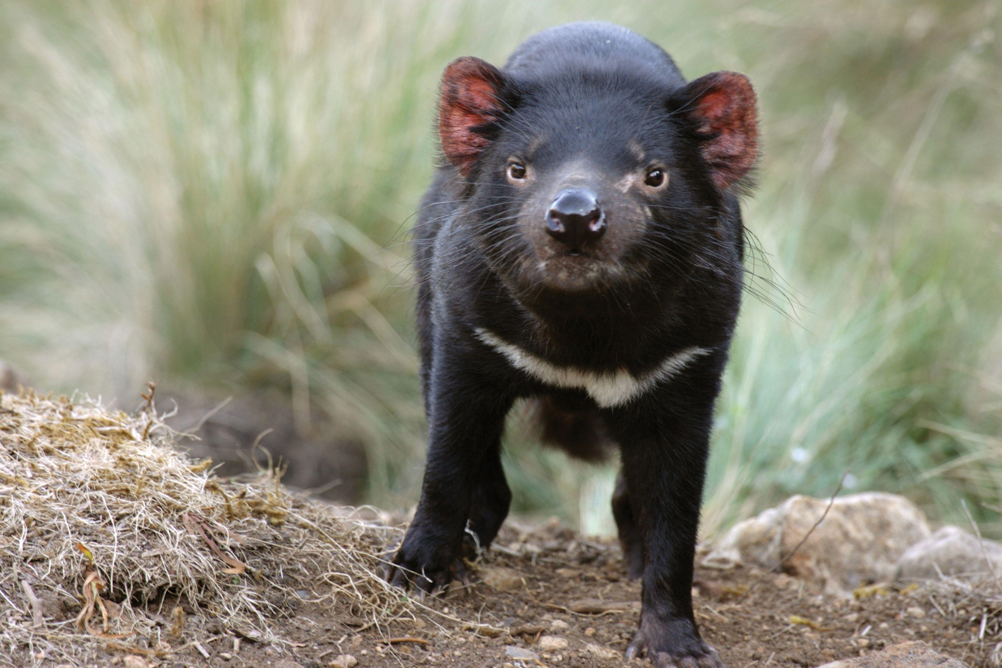 tasmanian devil widescreen wallpaper 59755