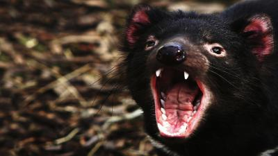 Angry Tasmanian Devil Wallpaper 59756