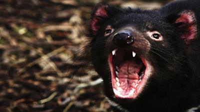 Angry Tasmanian Devil Wallpaper 59756