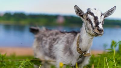 Goat Animal Widescreen HD Wallpaper 62336