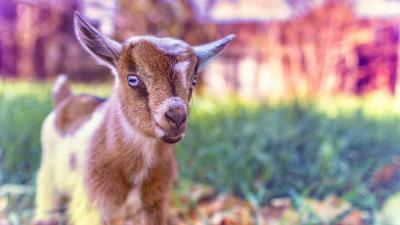 Goat Desktop HD Wallpaper 62335