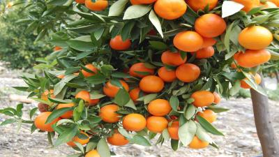 Orange Tree Computer Wallpaper Photos 61873