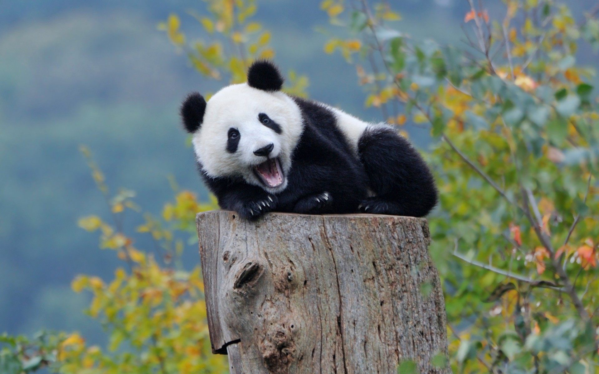 panda animal desktop wallpaper hd 62840 1920x1200 px ~ hdwallsource