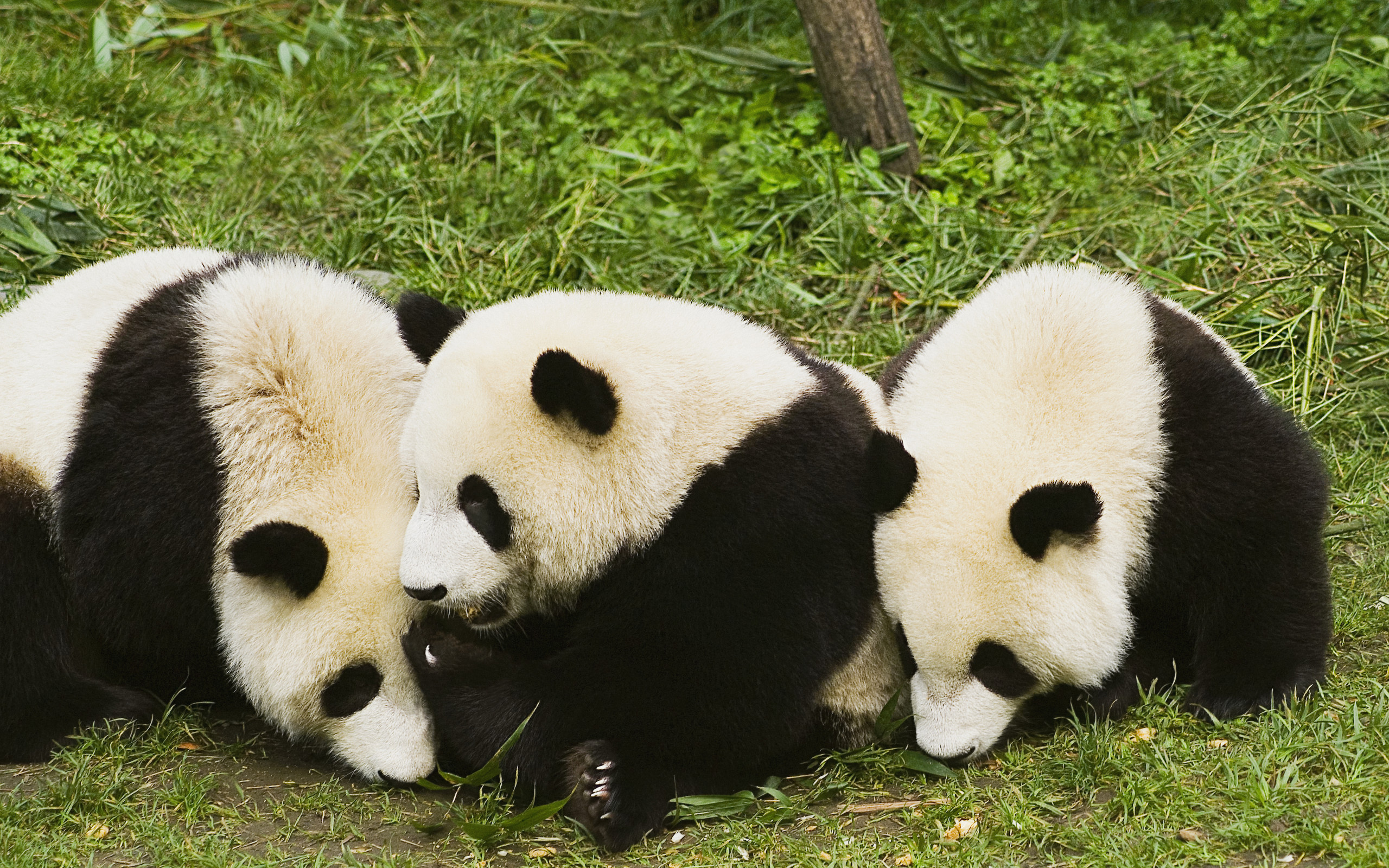 panda family wallpaper background 62839
