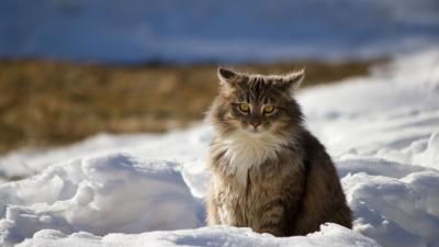 Cat In Snow Wallpaper 62687