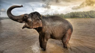 Happy Elephant Desktop Wallpaper 62572