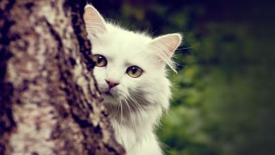 White Cat Desktop Wallpaper 62686