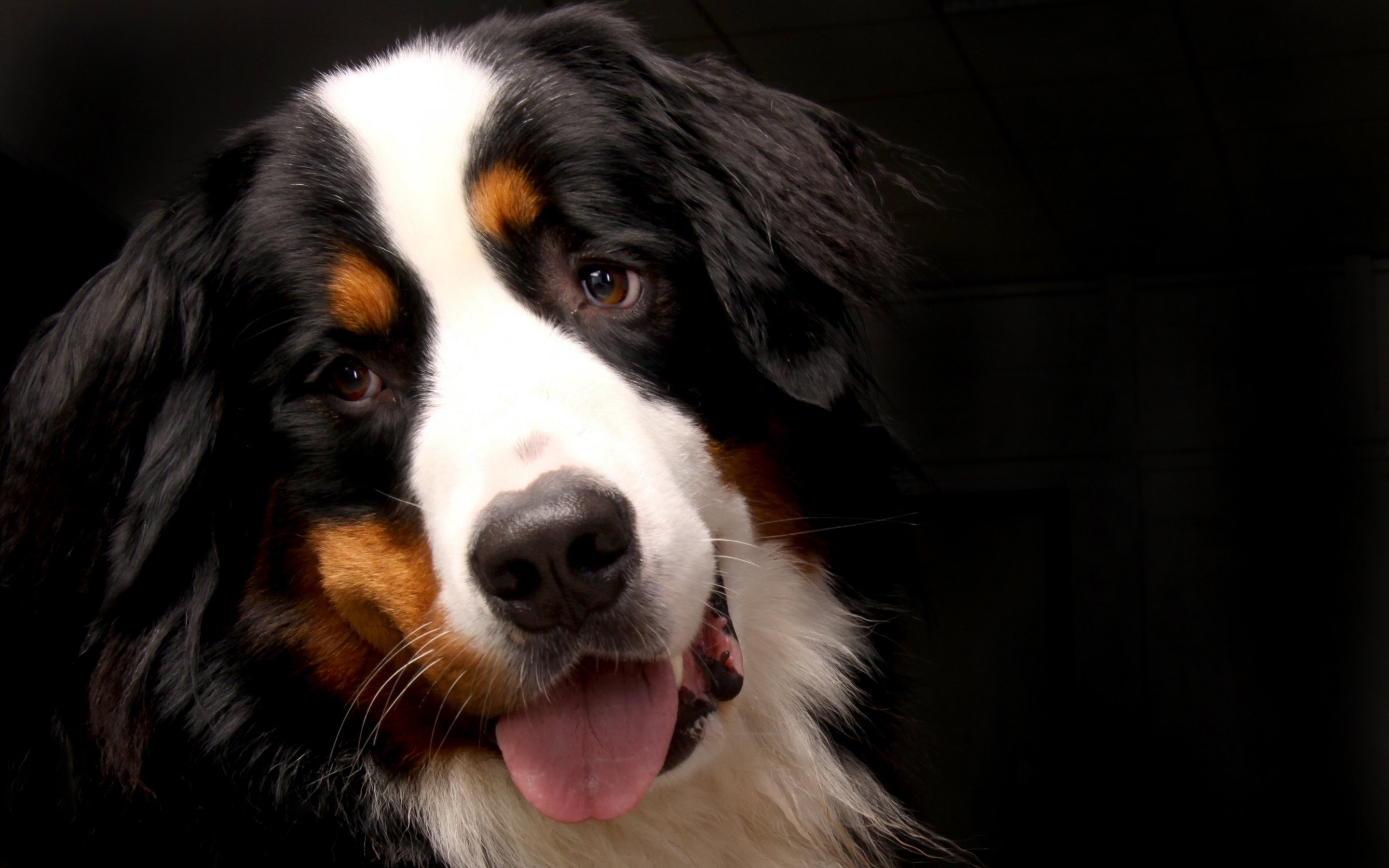 bernese mountain dog face wide wallpaper 62519