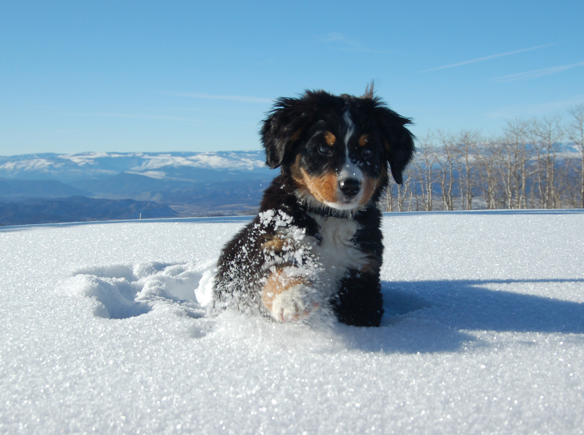 bernese mountain dog puppy in snow wallpaper 62523