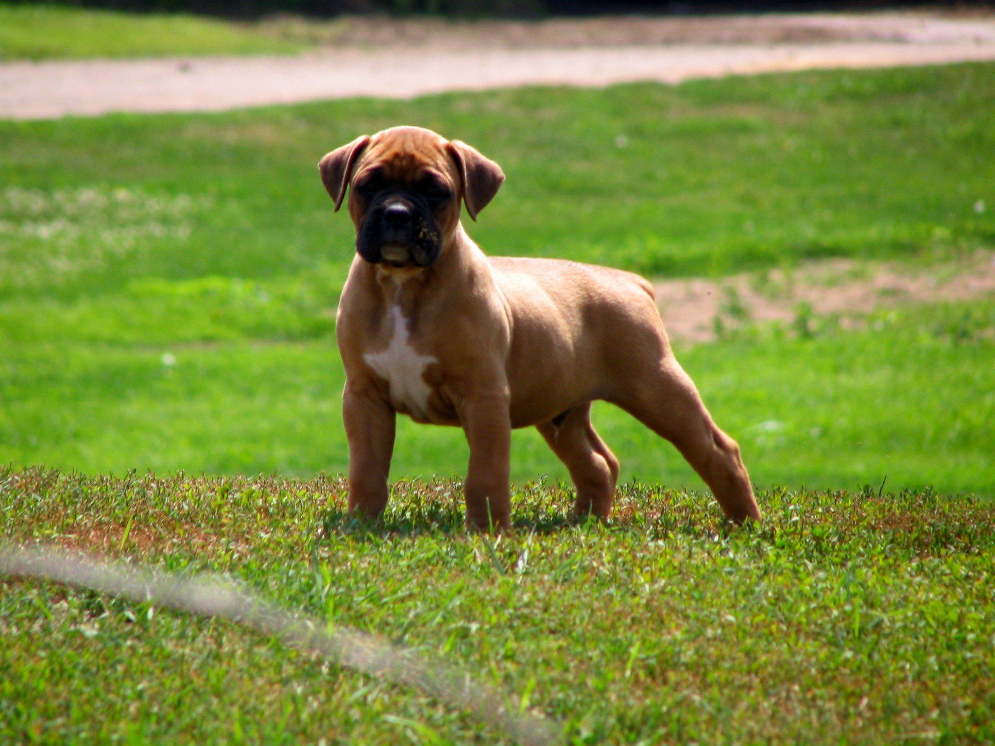boxer dog puppy wallpaper photos 62527