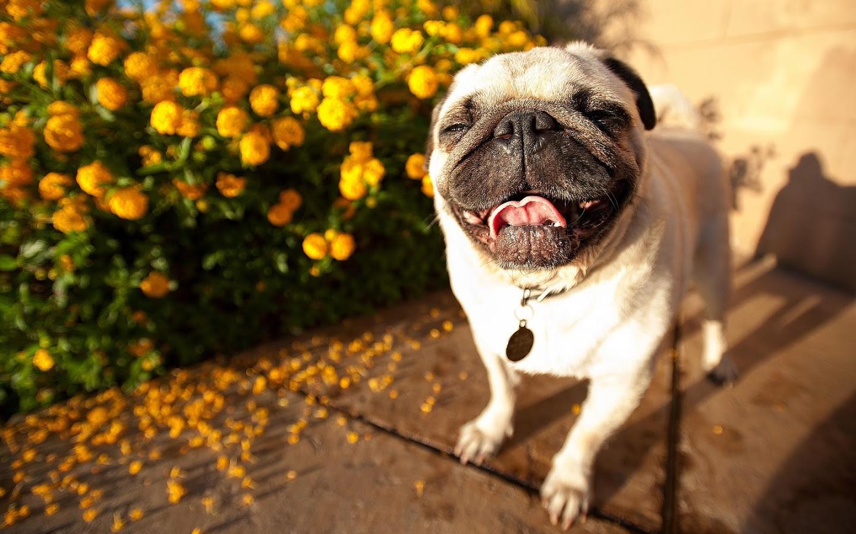 happy pug dog computer wallpaper 64345