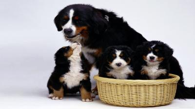 Bernese Mountain Dog Family Computer Wallpaper 62520