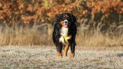 Bernese Mountain Dog Widescreen HD Wallpaper 62517