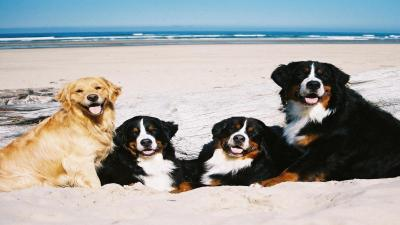 Bernese Mountain Dogs and Golden Retriever Wallpaper 62521
