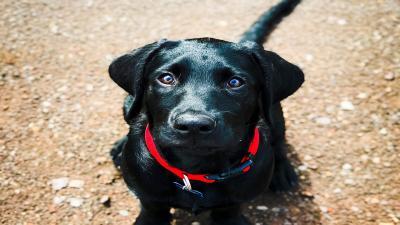 Black Labrador Retriever Puppy HD Wallpaper Background 64271