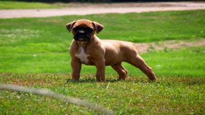 Boxer Dog Puppy Wallpaper Photos 62527