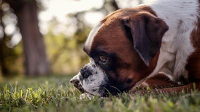 Boxer Dog Wallpaper Background HD 62525