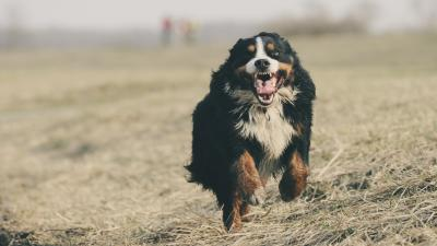 Happy Bernese Mountain Dog Wallpaper Background HD 62518