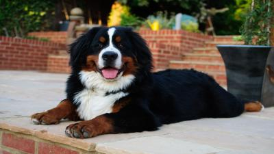Happy Bernese Mountain Dog Wallpaper Pictures 62524