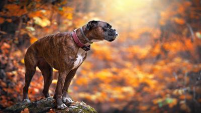 Stunning Boxer Dog Wallpaper HD 62526