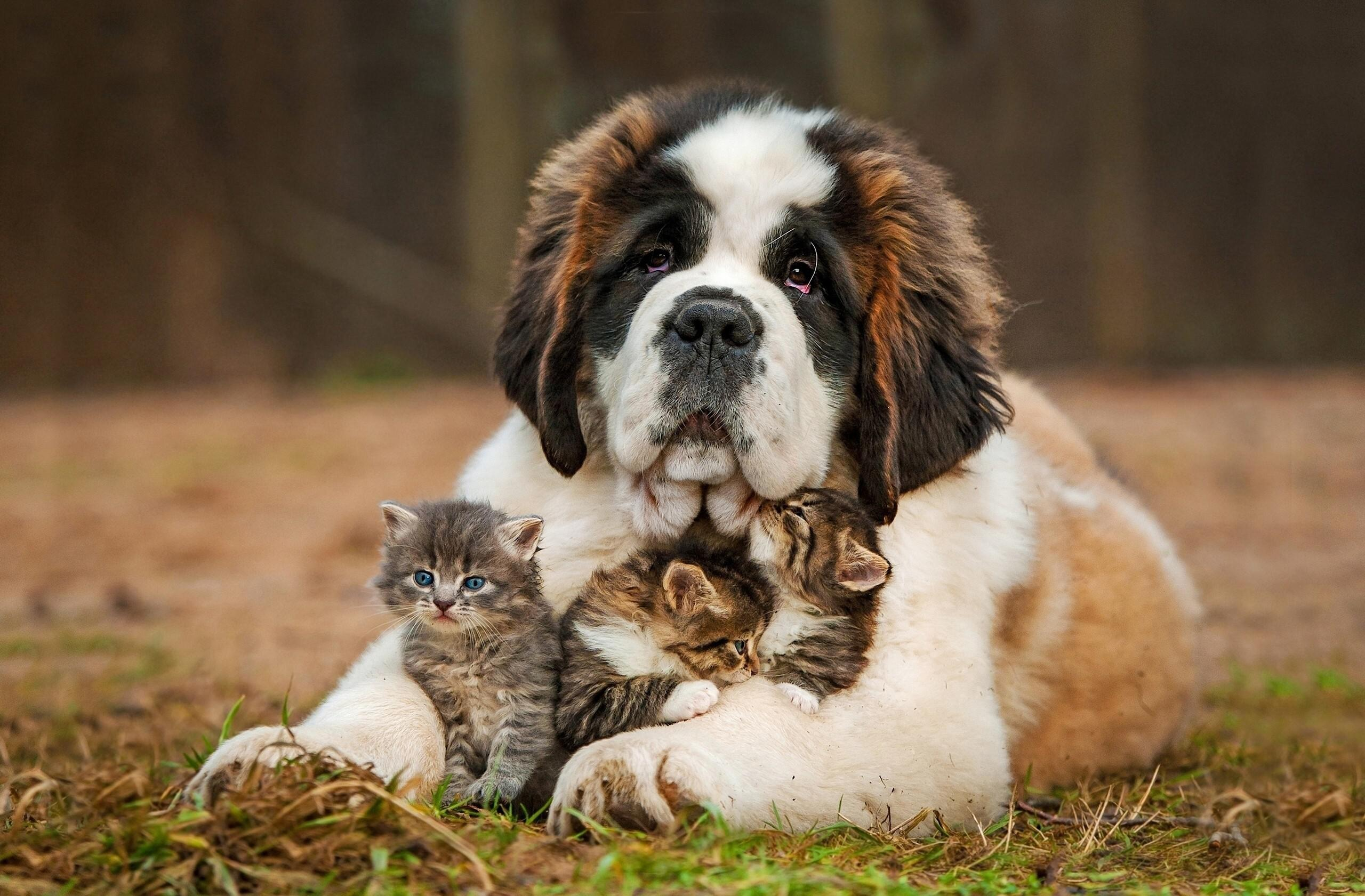 adorable st bernard wallpaper background 62540