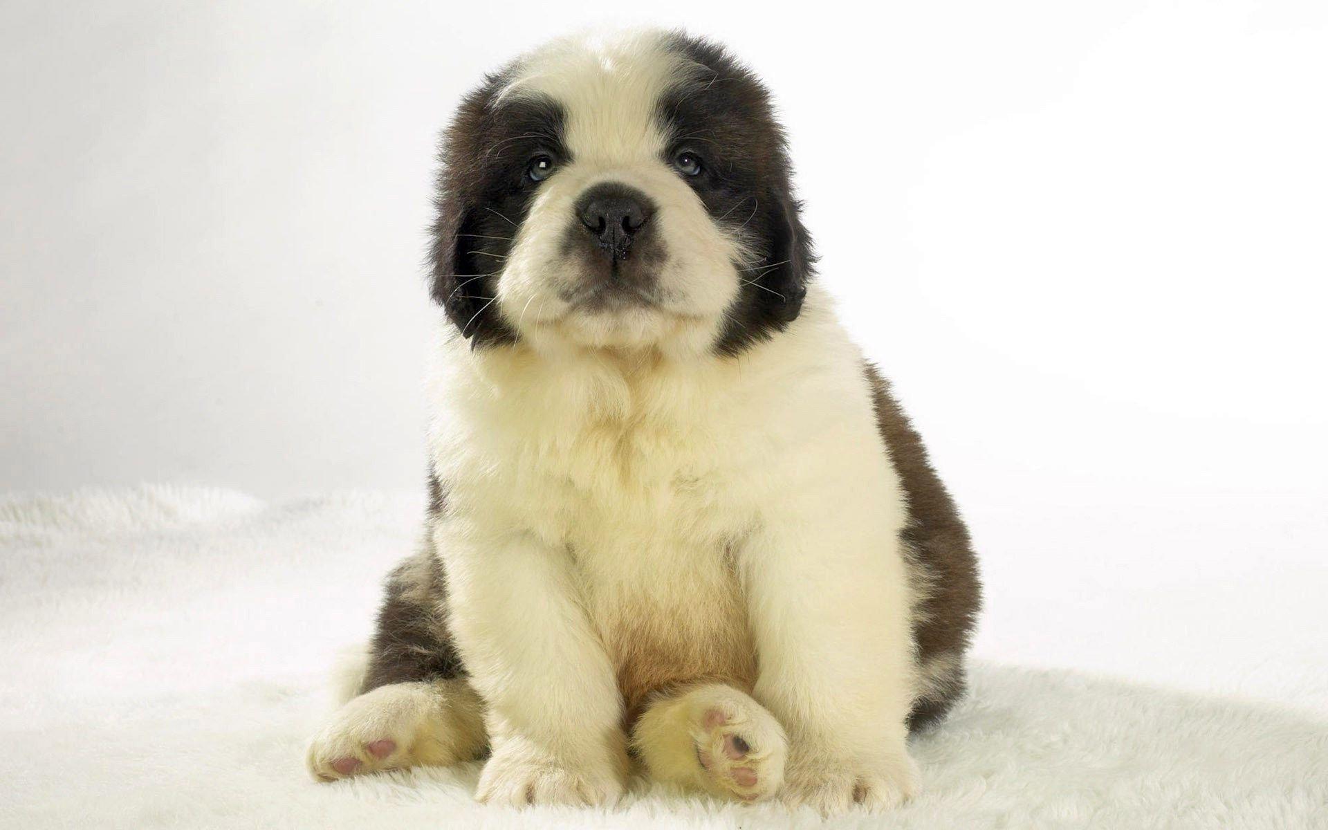 fluffy st bernard puppy wallpaper 62539