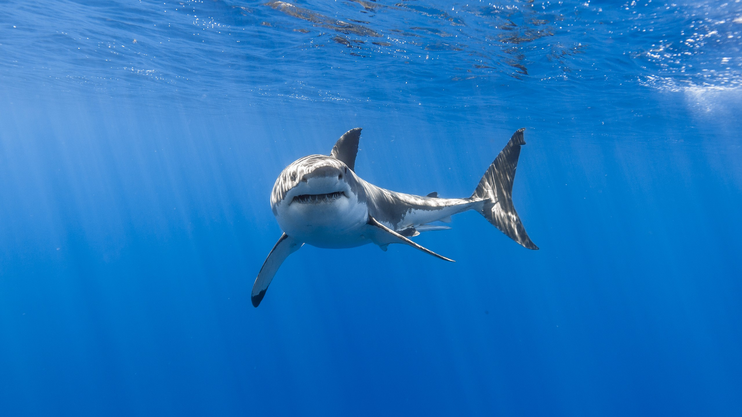 great white shark wallpaper background 62761