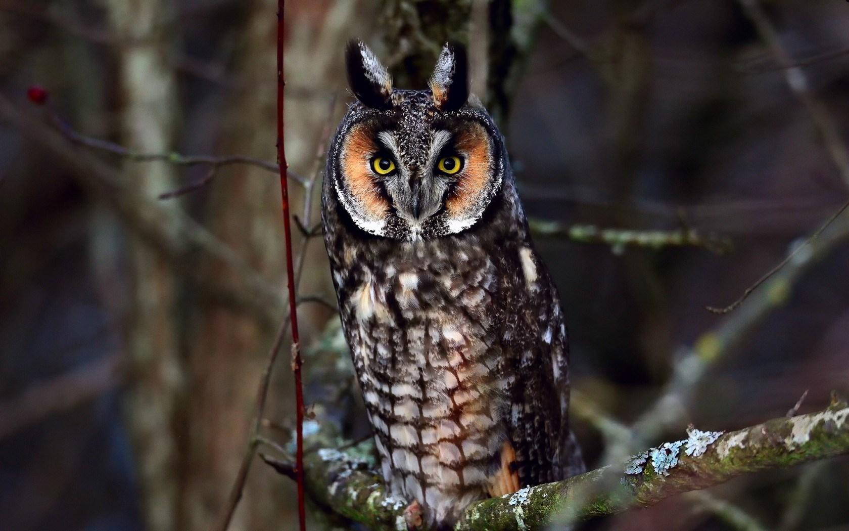 owl computer wallpaper photos 62956