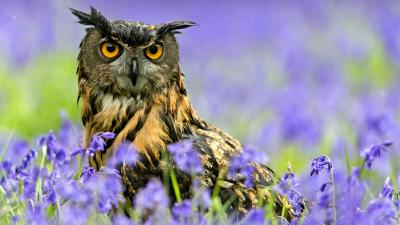 Beautiful Owl Desktop Wallpaper HD 62950