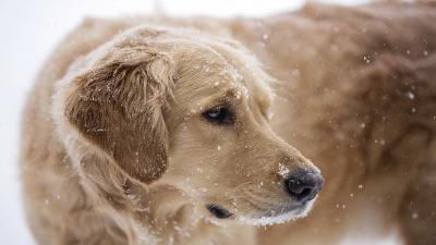 Golden Retriever In Snow Wallpaper 62765