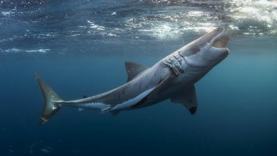 Great White Shark Wallpaper 62759