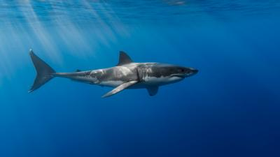 Great White Shark Widescreen HD Wallpaper 62760