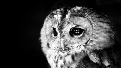 Monochrome Owl Face Wallpaper Background 62954