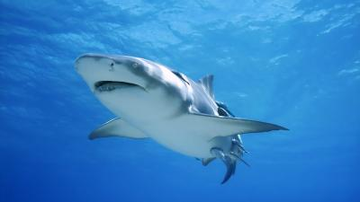 Shark Desktop Wallpaper 62762