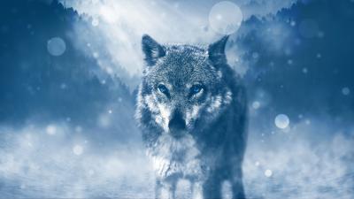 Winter Wolf Widescreen Wallpaper HD 62666