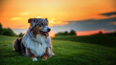 Dog Sunset Wallpaper Background HD 64894