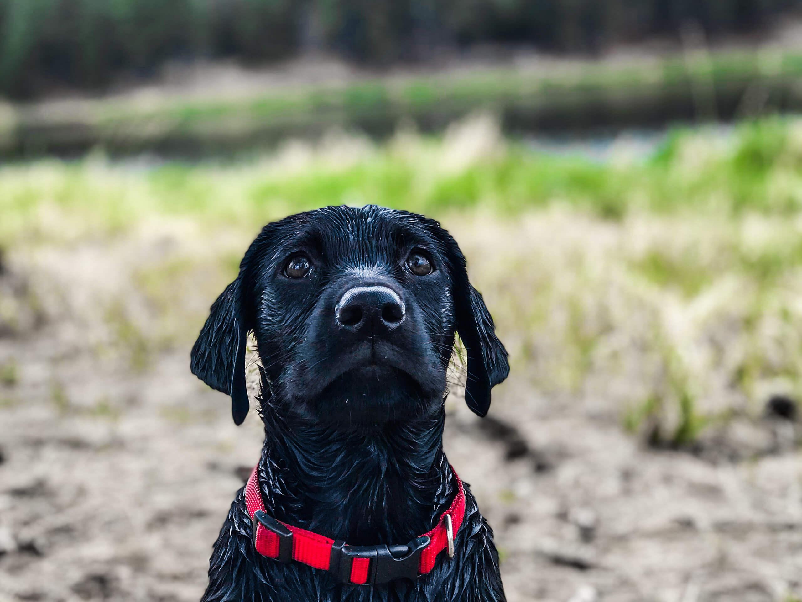 black labrador retriever wet wallpaper background 64241