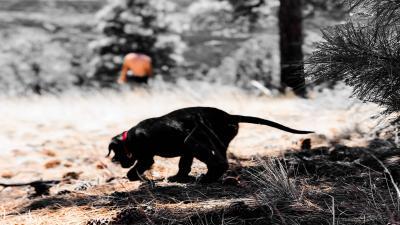 Black Labrador Retriever Puppy Hiking Wide Wallpaper 64243