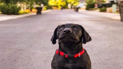 Black Labrador Retriever Puppy Wallpaper Background 64242