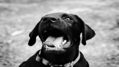 Monochrome Black Labrador Retriever Puppy Face Wallpaper HD 64244