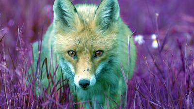 Beautiful Fox Computer Wallpaper 63000