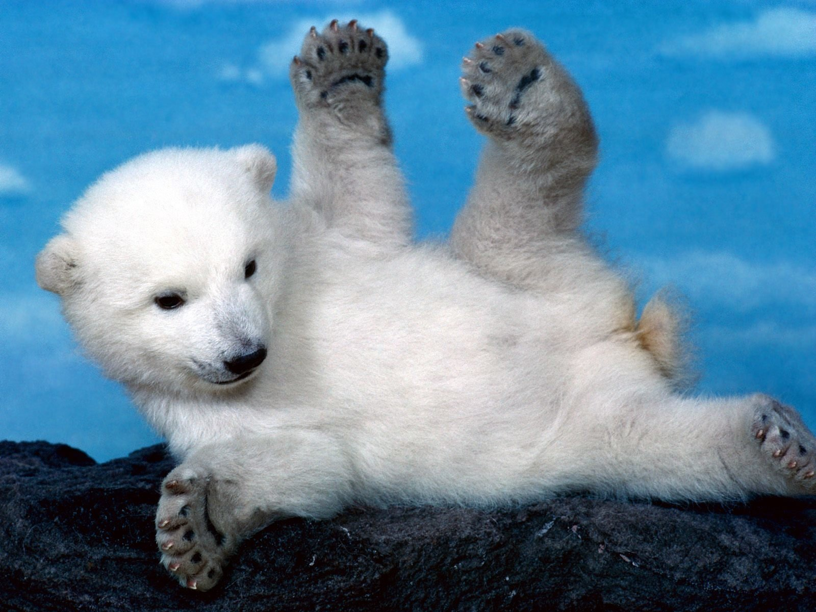 cute polar bear cub wallpaper 66742